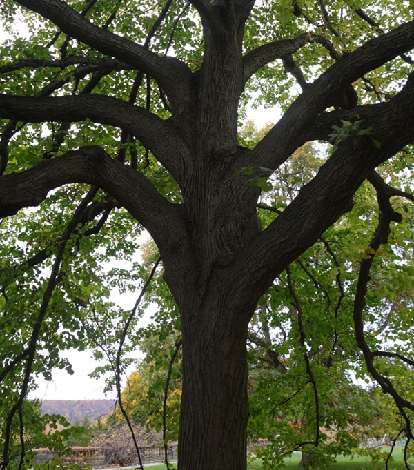 wavehill-tree
